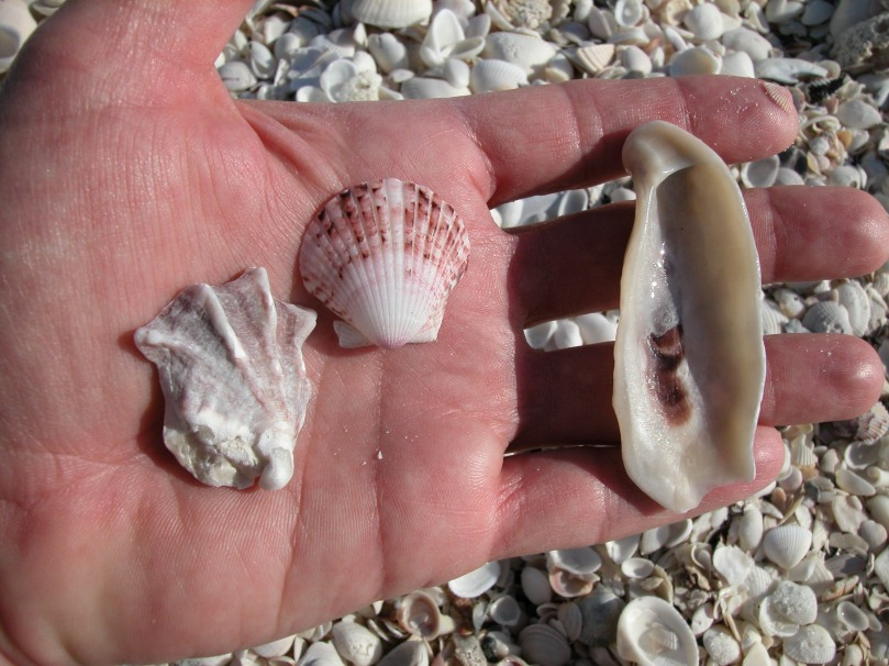 A few minutes of beachcombing produced these common shells: a ki