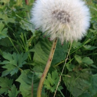 Dandelions : Return of Summer