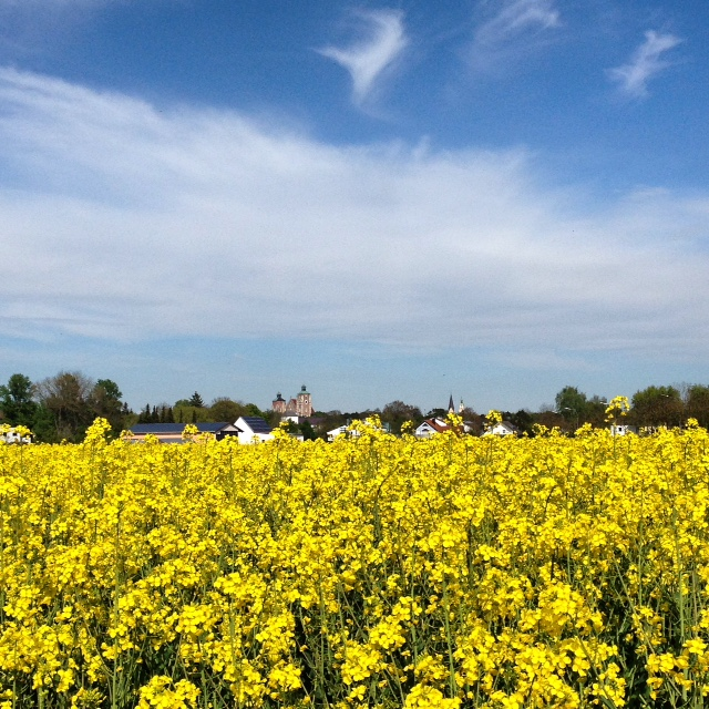 Fields of gold rapeseeds in bavaria justbluedutch one fine day with the rapeseed fields mightylinksfo