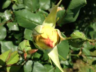 First bloom of Roses in our garden