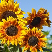 Ooh Shiny: What summer means to me, the  Sunflower fields