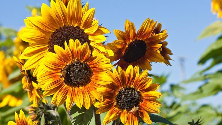 sunflower fields-bavaria