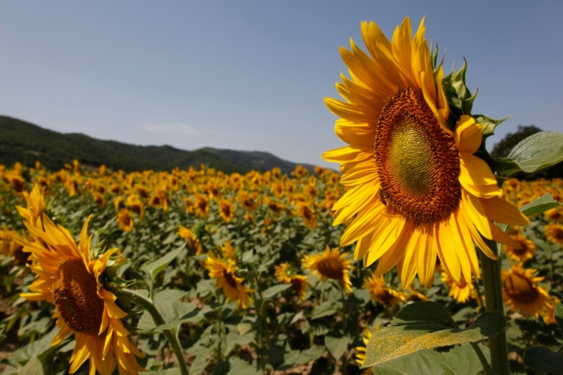 Sunflower in Germany �C justbluedutch809 x 539 jpeg 128kB
