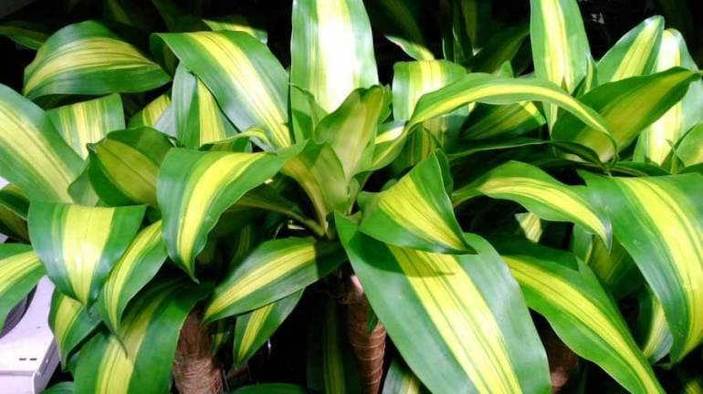 corn_plant_dracaena_fragrans4L