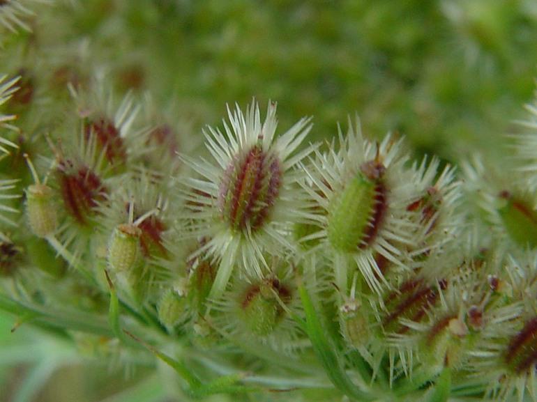 daucus carota 12