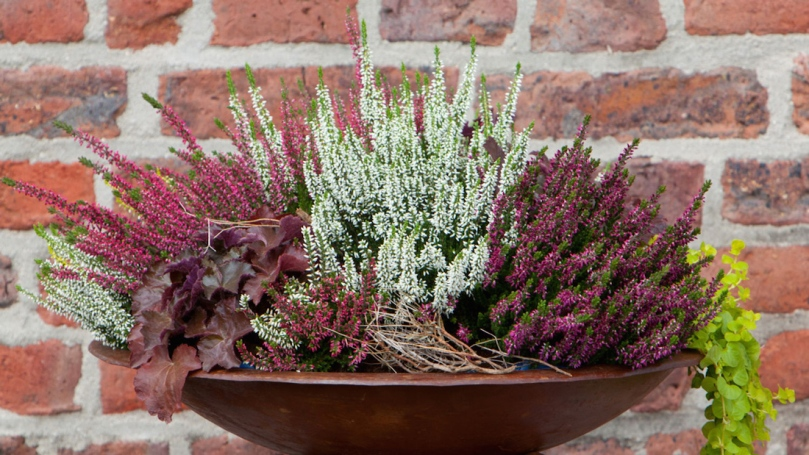 Calluna-Valentina-in-Planter