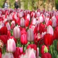 "National ""Romantic"" Tulip Day!"