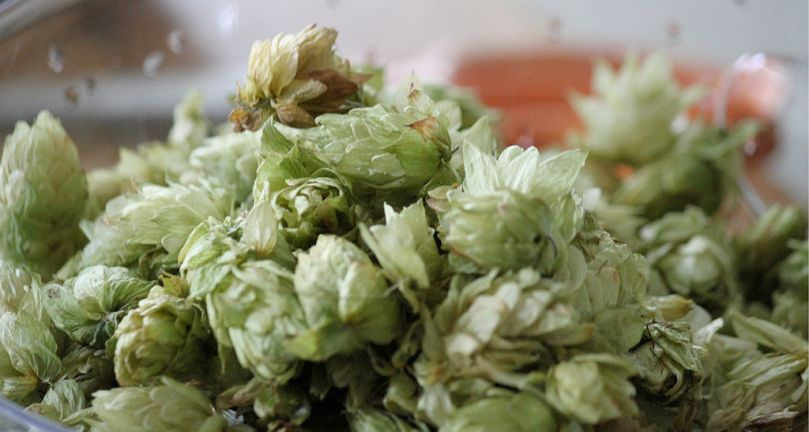 1024px-Freshly_picked_hops